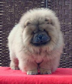 need a Chow Chow! Perros Chow Chow, Chow Chow Dogs, Puppy Chow, Fluffy Dogs, Fluffy Animals, Cute Baby Animals, Animals And Pets, Tiny Puppies, Cute Puppies