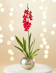 Christmas Cambria Orchid Globe