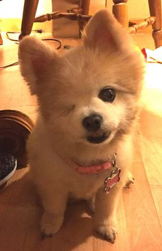 I Would Like To Introduce You To Lady, The 12-Year-Old, One-eyed Pomeranian I…