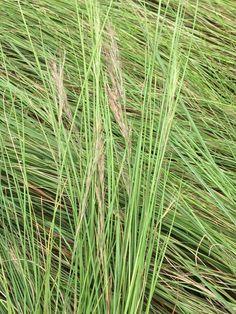 Gongoni grass (Aristida junciformis) 🎋 Grasses, Herbs, Garden, Lawn, Garten, Grass, Herb, Gardens, Tuin