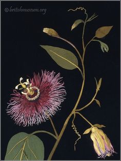 Passion Flower by Mary Delany (1777)