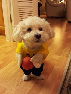 Lil' Bichon ready to shoot hoops!