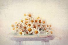 #Daisy photograph fine art print still life by VintageChicImages, $30.00 #shabbychic #flowers