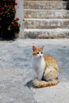 Cat in Akrotiri Village, Santorini