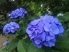 Blue! Hortênsia