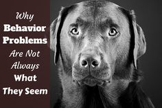 Many owners experience Labrador behavior problems at some point in their lives. And though some are genuine, many are just natural behaviors...