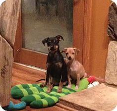 Hainesville, IL - Jack Russell Terrier/Chihuahua Mix. Meet Laila a Puppy for Adoption.