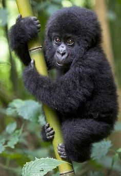 Wow Baby Mountain Gorilla -- if this doesn't put a smile on your face, then I'm not sure what will!