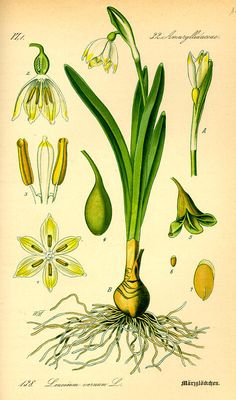 Leucojum vernum (Amaryllidaceae)