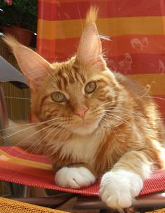 Maine Coon Kittens for Sale | Northamptonshire Maine Coon Kitten Breeder http://www.mainecoonguide.com/male-vs-female-maine-coons/