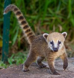 South American Coati at Iguazu Falls