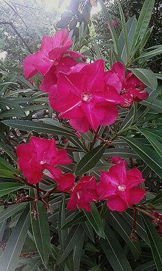 Flores de adelfa rosa intenso