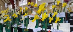 2018 Daffodil Shows and Competitions - Pumpkin Beth Sussex Gardens, Stuff To Do, Things To Do, Days Out, Surrey, Daffodils, Rainy Days, Yellow Flowers, Spring Time