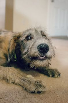 I saw a woman walking two Irish Wolfhounds on my street and my mind went into hyper mode. How do two huge dogs live in a tiny apartment? Big Dogs, I Love Dogs, Cute Dogs, Dogs And Puppies, Irish Wolfhound Puppies, Irish Wolfhounds, Scottish Deerhound, Crazy Dog, Happy Dogs