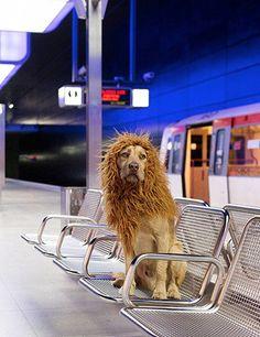 Muitos animais ficam famosos nas redes sociais por serem muito fofos ou simplesmente de uma espécie não tão comum, mas talvez este seja o primeiro cão-leão que você já viu.