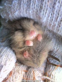 Kobayashi Shinmichi up #kobayashi #shinmichi content_short_40 Hamster Pics, Baby Hamster, Cute Little Animals, Cute Funny Animals, Fluffy Animals, Animals And Pets, Funny Hamsters, Robo Dwarf Hamsters, Animal Jokes