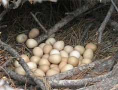 Guinea Fowl nest, they do like to have a group nest.