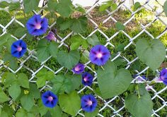 5 Ways to Decorate a Chain Link Fence - morning glories!
