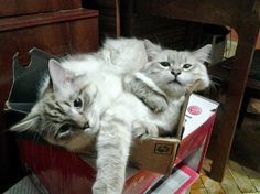 Sharing a box. By kiryko http://cmji.me/1gkPBEn #cat #aww