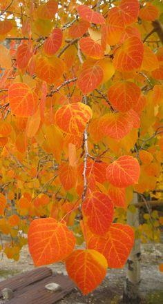 Orange aspen leaves in St. Elmo, Colorado. http://www.coloradoguy.com/fall-colors/photos.htm