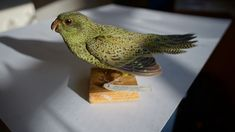 The night parrot (Pezoporus occidentalis), endemic to the continent of Australia, is one of the most elusive and mysterious birds in the world, with no confirmed sightings of the bird between 1912 and 1979, leading to speculation that it was extinct. Sightings since 1979 have been extremely rare and the bird's population size is unknown; it is thought to number 50-249 mature individuals. The first photographic and video evidence of a live individual was publicly confirmed in July 2013.