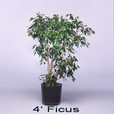 Ficus - Expo Ease Plant Services Ficus, Plant Design, Plant Decor, Special Events, Plants, Fig, Planters, Figs, Plant