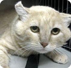 Canon City, CO - Domestic Shorthair. Meet Majora, a cat for adoption. http://www.adoptapet.com/pet/13838004-canon-city-colorado-cat