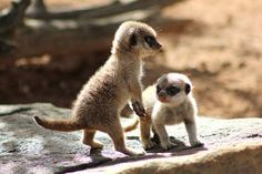 Adorable Baby Meerkats Adventure Outside Their Nest for the Very First Time - My Modern Met