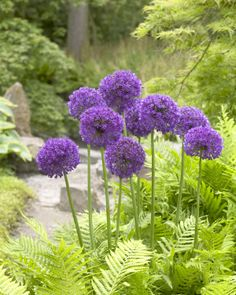 Allium-BULB-Plant in the fall. Up to 3 ft tall. Dies off mid summer dry during season