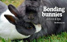 http://best4bunny.com/bonding-rabbits-bond-bunnies/