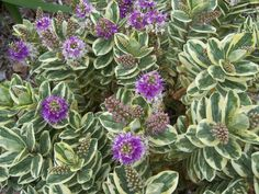 The 2 Minute Gardener is a great visual resource with over 600 photos. Here is one of Variegated Hebe (Hebe sp. 'Variegata').
