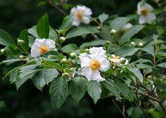 Stewartia pseudocamellia 'Koreana' Leaf Flowers, White Flowers, Variegated Plants, Foliage Plants, Tropical Plants, Planting Flowers, I Am Awesome, Seeds, Vermont