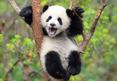 Happy panda hanging in the trees...