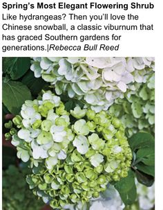 Chinese Snowball - should be called AMAZEBALLS! Love!