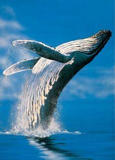 Whale breaching  Artist Barry Ingham