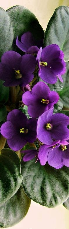 African Violets my grandma ALWAYS had these in her kitchen.....