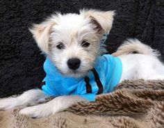 Teddy the Terrier Mix -- Dog Breed: Chihuahua / West Highland White Terrier