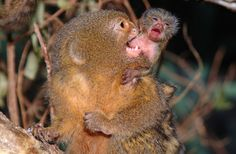 25 animals way weirder than anything you've seen in science fiction [pics] Marmoset Monkey, Pygmy Marmoset, Baby Animals, Funny Animals, Small Monkey, New World Monkey, Weird Science, Horror Comics, Victorian Gothic