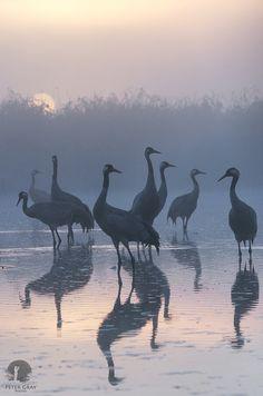 Cranes in Kwiecewo Nature Reservoir, Poland, by Peter Gray on Love Birds, Beautiful Birds, Afrique Art, Photo Animaliere, Crane Bird, All Nature, Mundo Animal, Bird Art, Beautiful Creatures