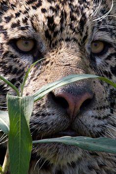 wolverxne:  Jaguar - by: (Giovanni Mari)༺ ♠ ŦƶȠ ♠ ༻