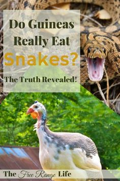 A major pro for guineas is that they will take care of your snake problem. Find out the truth- do guineas eat snakes for real??