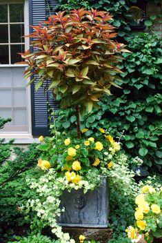 coleus topiary....yellow begonia, licorice vine...so pretty....!