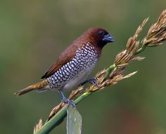 Scaly-breasted Munia or Spotted Munia - endemic to Asia, from India Sri Lanka, E. to Indonesia Philippines
