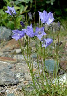 BLÅKLOKKE - Campanula rotundifolia, villblomst