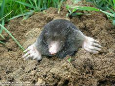 4 tips to chase moles from your garden Organic Gardening, Gardening Tips, Garden Online, Gardening Magazines, Garden Deco, Organic Vegetables, Black Bear, Horticulture, Vegetable Garden