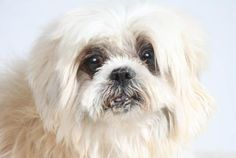 Adopt River, a lovely 7 years  2 months Dog available for adoption at Petango.com.  River is a Shih Tzu and is available at the National Mill Dog Rescue in Colorado Springs, Co. www.milldogrescue... #adoptdontshop #puppymilldog #rescue #adoptyourfriendtoday