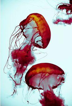 Jellyfish...