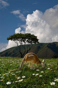 """Kangaroo by peter holme iii """