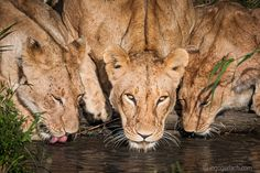 Heute sind bis zu 40 Grad angesagt. Da heißt es trinken, trinken und nochmals trinken. ;-) Löwen löschen ihren Durst in der Masai Mara.   Today it's up to 40 degrees. It's drink, drink and drink again. ;-) Lions quench their thirst in the Masai Mara.    More:  www.ingogerlach.com 40 Degrees, Lions, Drink, Animals, Advertising Photography, Product Photography, Classic, Landscape, Animales