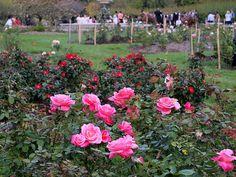 Lyndale Park Rose Gardens at  Lake Harriet in Minneapolis, Minnesota
